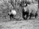 rhino calf birth at kenya sanctuary