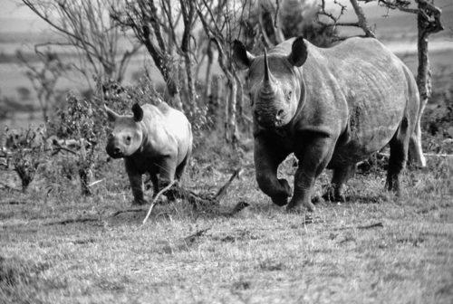 rhino calf birth at kenya sanctuary