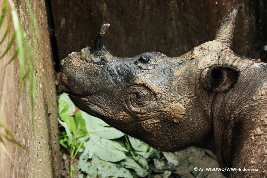 sumatran rhino found in indonesia