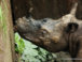 sumatran rhino found in indonesia