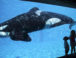 Sea World Orca Captive Breeding Abuse